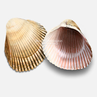This beautiful drawing of Atlantic giant (heart) cockle shells, Dinocardium robustum, is accurate in detail.