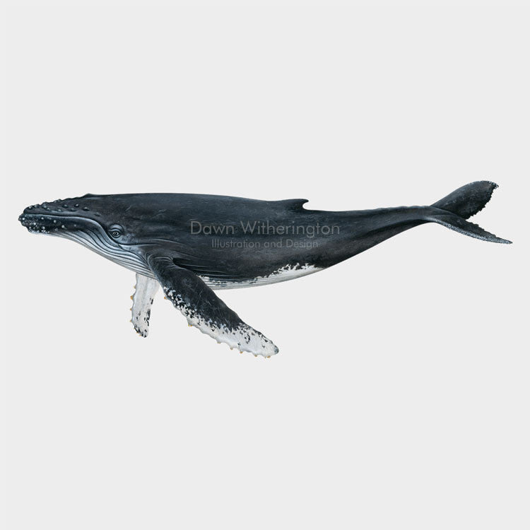 This drawing of a humpback whale, Megaptera novaeangliae, is biologically accurate in detail.