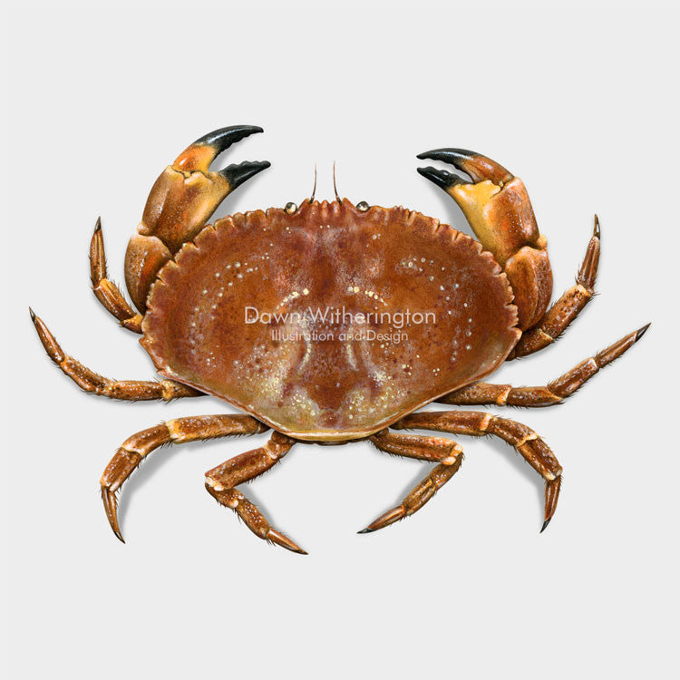 This beautiful drawing of a Jonah crab, Cancer borealis, is biologically accurate in detail.