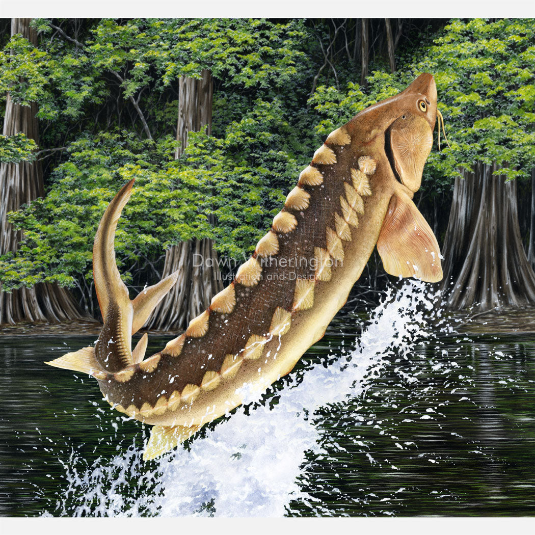 This image is of a jumping Gulf sturgeon (Acipenser oxyrinchus desotoi).