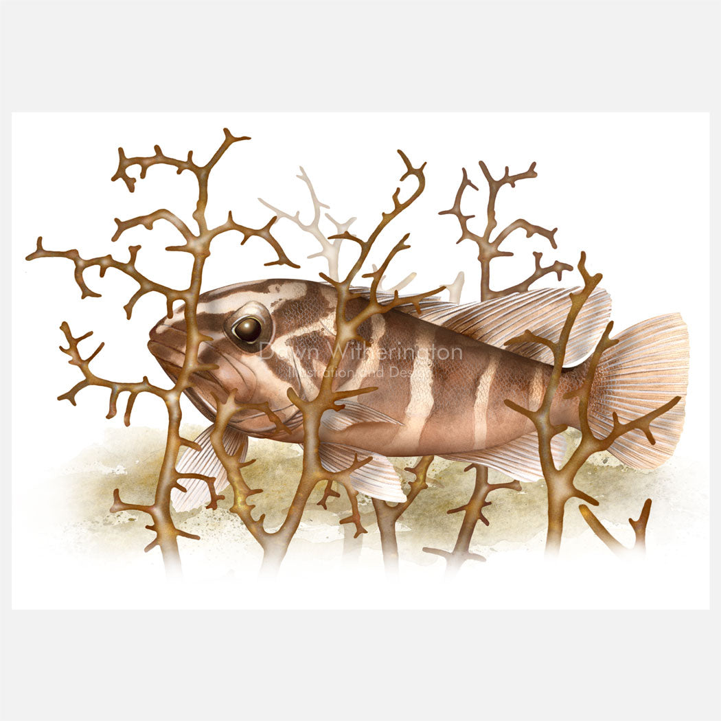 Illustration of a juvenile Nassau grouper (Epinephelus striatus) in Laurencia, a red algae