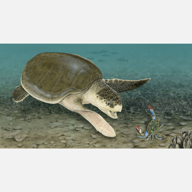 This beautiful illustration is of a Kemp's ridley sea turtle (Lepidochelys kempii) foraging in a shallow bay.