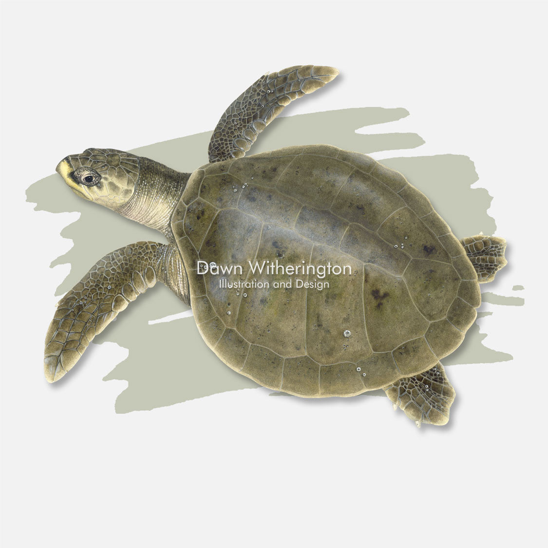This beautiful illustration is of a Kemp's ridley sea turtle, Lepidochelys kempii, over a swash graphic.