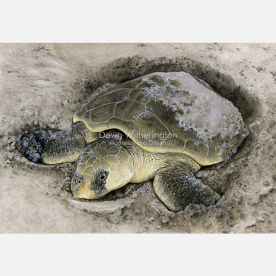 This beautiful illustration is of a nesting Kemp's ridley sea turtle, Lepidochelys kempii, on a Texas beach.