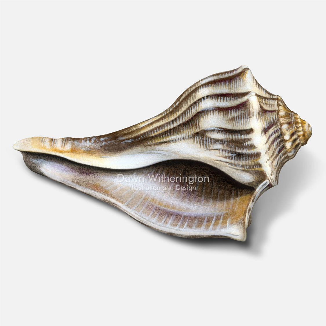 This beautiful drawing of a knobbed whelk shell, Busycon carica, is biologically accurate in detail.