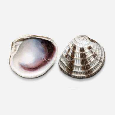This beautiful drawing of lady-in-waiting venus clam shells, Chione intapurpurea, is accurate in detail.