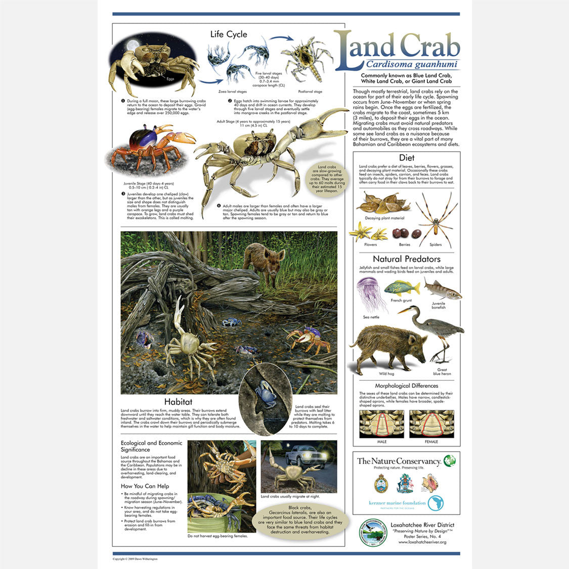 This beautiful poster provides information about blue land crabs, Cardisoma guanhumi.