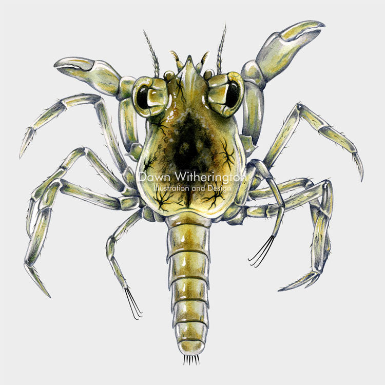 This beautiful drawing of a late stage larval crab, megalops, is biologically accurate in detail.