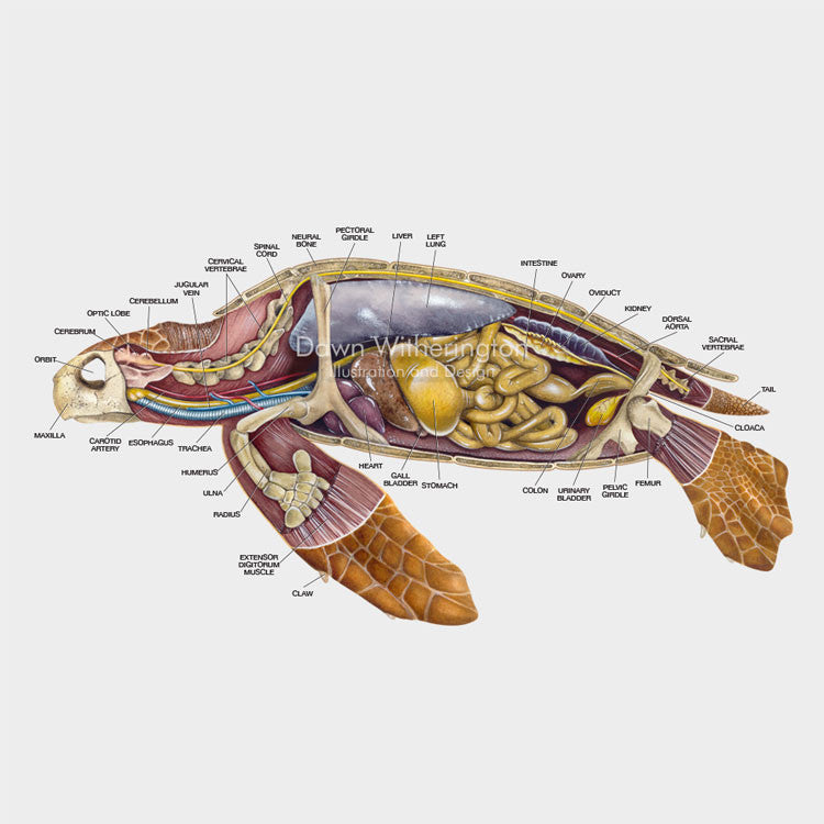 This lateral anatomy cutaway illustration of a loggerhead sea turtle (Caretta caretta) is biologically accurate in detail.