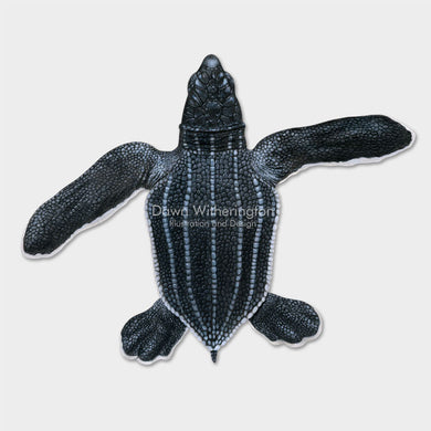 This beautiful illustration of a hatchling leatherback sea turtle, Dermochelys coriacea, is biologically accurate in detail.