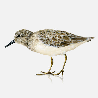This beautiful illustration of a least sandpiper, Calidris minutilla, is biologically accurate in detail.