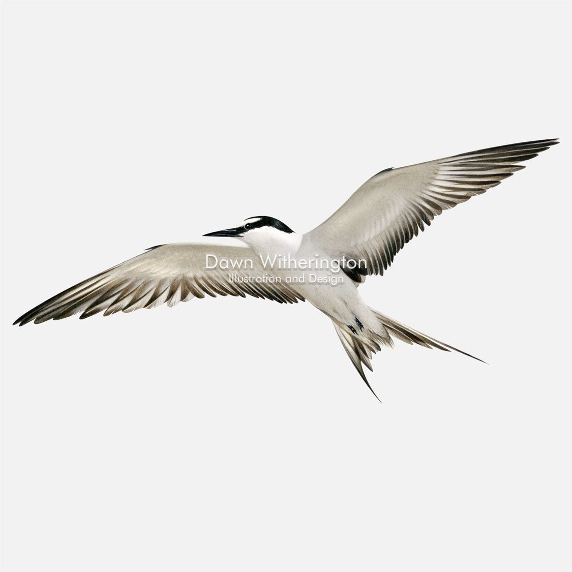 This beautiful illustration of a least tern, Sternula antillarum, in flight, is biologically accurate in detail.