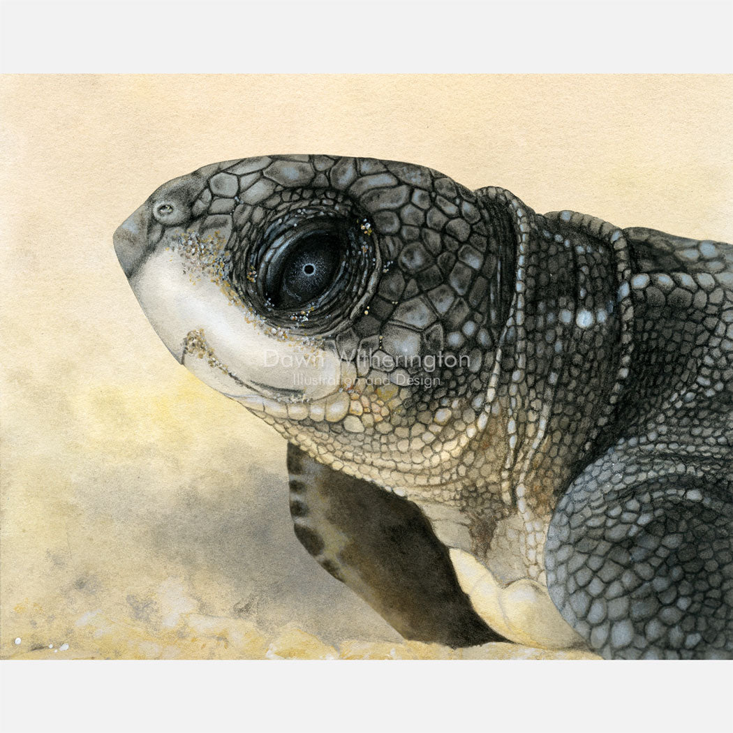 This beautiful drawing of a hatchling leatherback sea turtle, Dermochelys coriacea, is biologically accurate in detail.