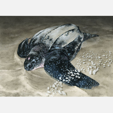 This beautiful illustration is of a nesting leatherback sea turtle, Dermochelys coriacea, on a Florida beach.