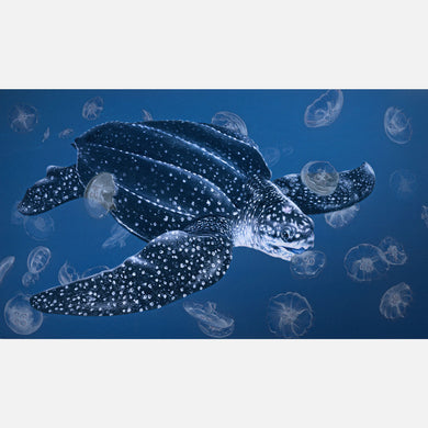 This lovely illustration is of a leatherback sea turtle (Dermochelys coriacea) feeding on moon jellies.