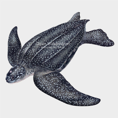 This beautiful illustration of a swimming leatherback sea turtle, Dermochelys coriacea, is biologically accurate in detail.