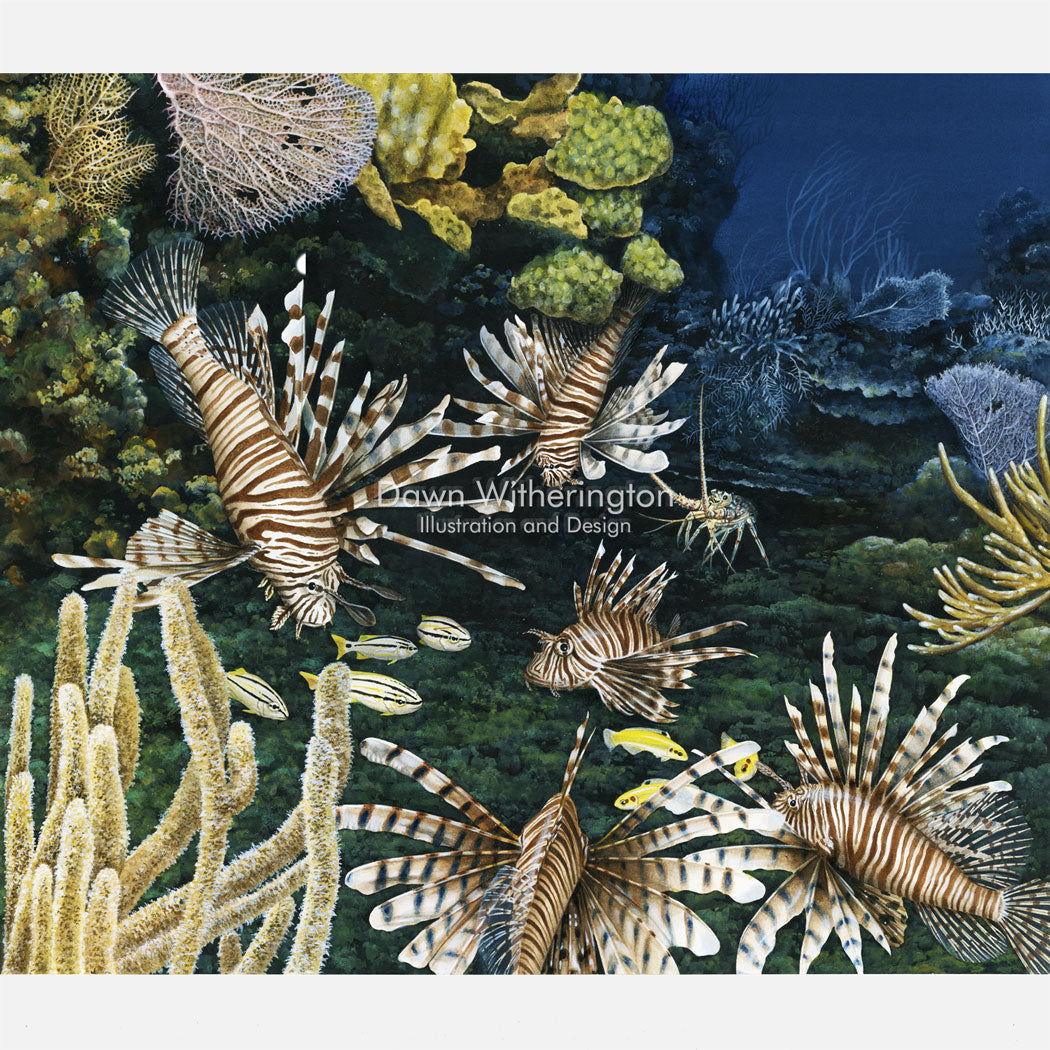 This illustration is of several invasive red lionfish, Pterois volitans, inhabiting a nearshore reef.