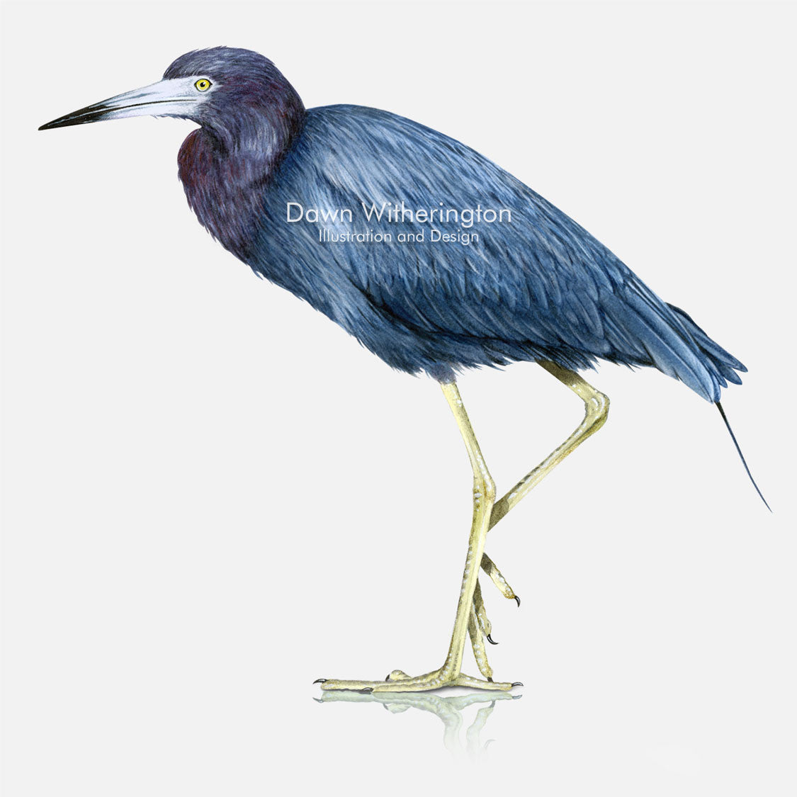 This beautiful illustration of a little blue heron, Egretta caerulea, is biologically accurate in detail.