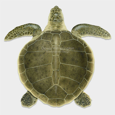 This beautiful drawing of a swimming Kemp's ridley sea turtle (Lepidochelys kempii) is biologically accurate in detail.