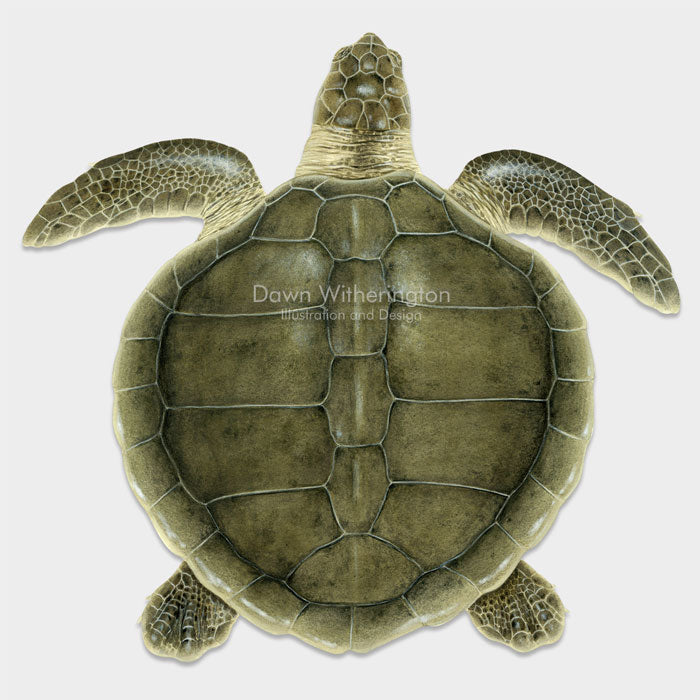 This beautiful drawing of an adult Kemp's ridley sea turtle (Lepidochelys kempii) is biologically accurate in detail.