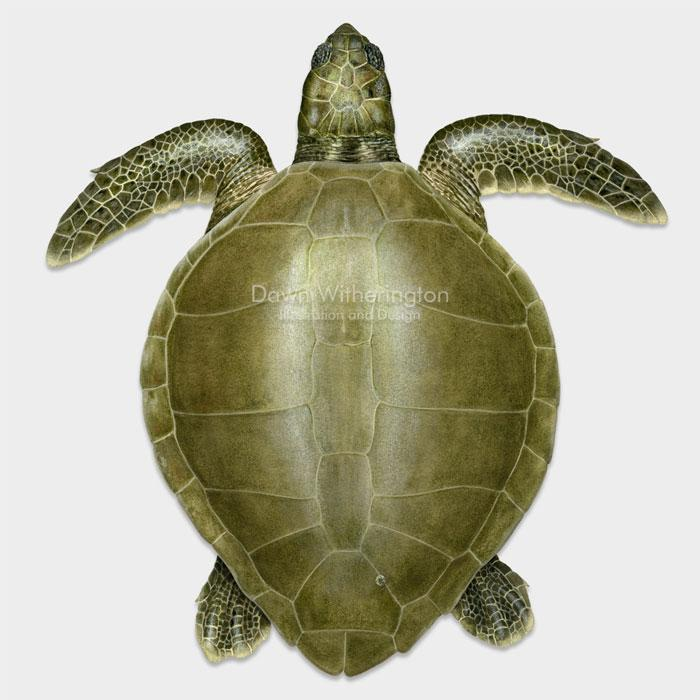 This beautiful dorsal illustration of an adult olive ridley sea turtle, Lepidochelys olivacea, is biologically accurate in detail.