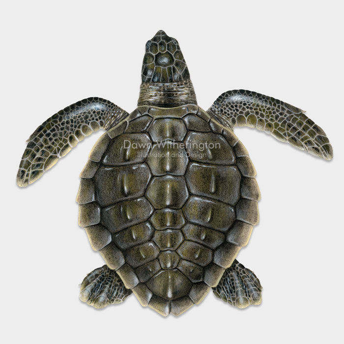 This beautiful drawing of a post-hatchling olive ridley sea turtle, Lepidochelys olivacea, is biologically accurate in detail.