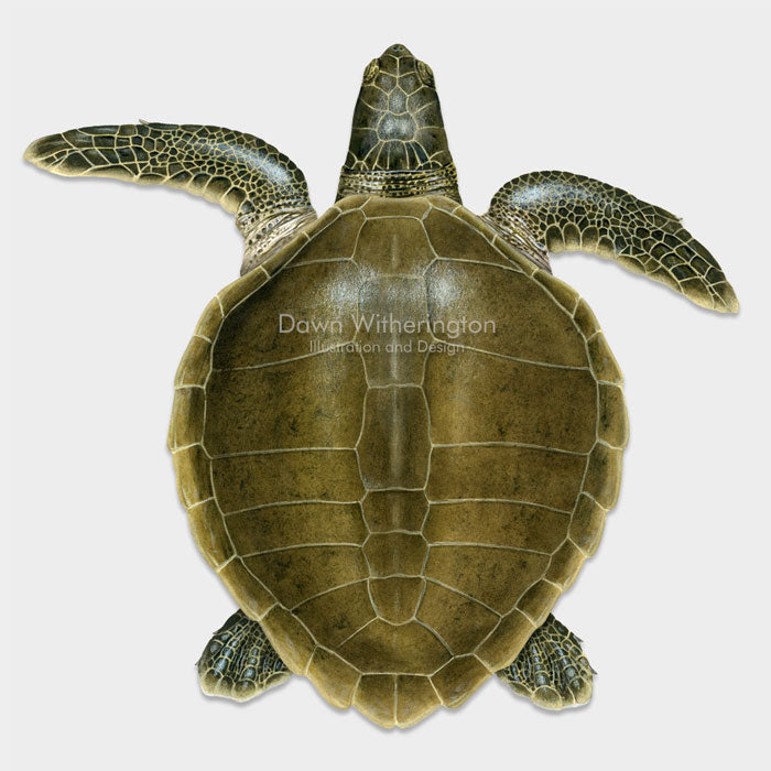 This beautiful dorsal illustration of a subadult olive ridley sea turtle, Lepidochelys olivacea, is biologically accurate in detail.
