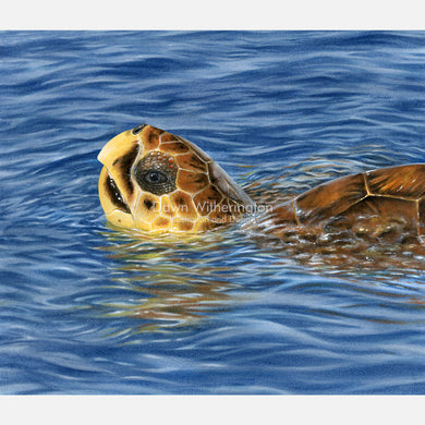 This beautiful illustration of a basking loggerhead sea turtle, Caretta caretta, is accurate in detail.