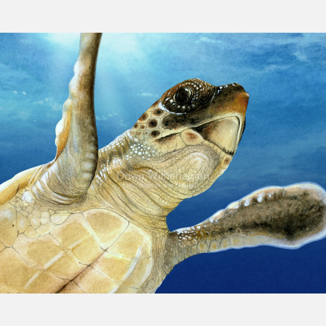 This beautiful drawing of a post-hatchling loggerhead sea turtle, Caretta caretta, is biologically accurate in detail.