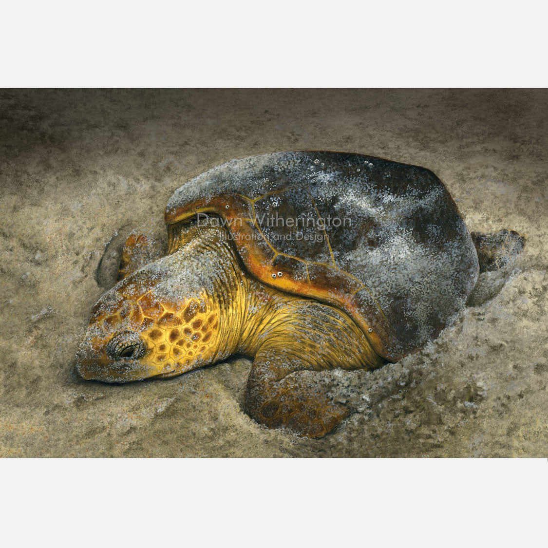 This beautiful illustration is of a nesting loggerhead sea turtle, caretta caretta, on a Florida beach.