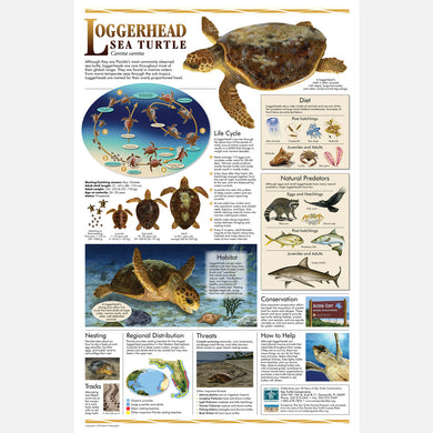 This beautiful poster provides information about the Loggerhead sea turtle.