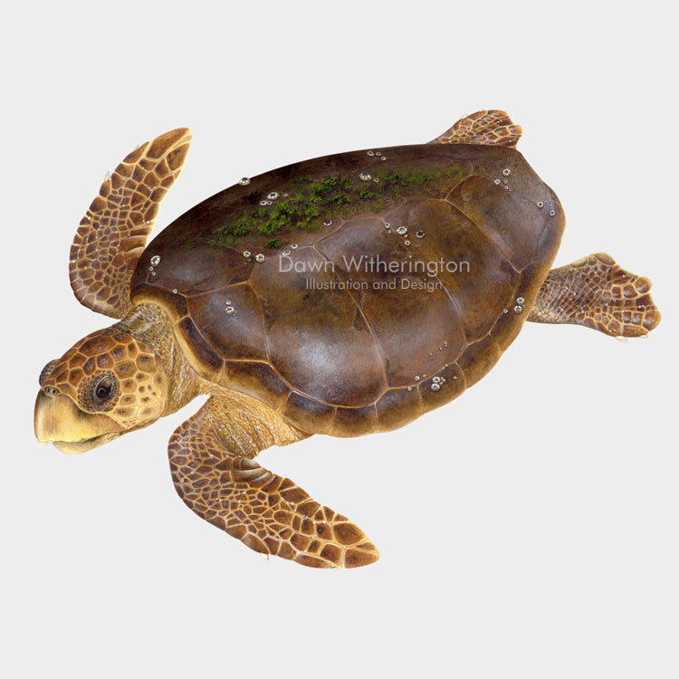 This beautiful illustration of an adult loggerhead sea turtle, Caretta caretta, is biologically accurate in detail.