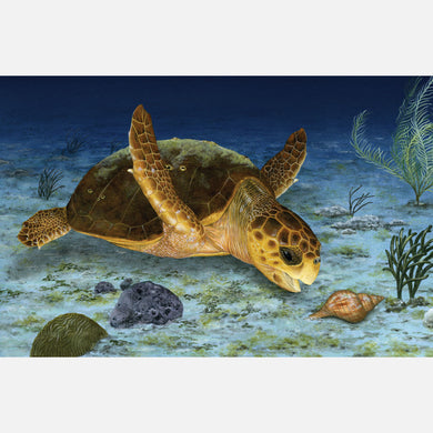 This beautiful, highly detailed illustration is of a loggerhead sea turtle, caretta caretta, approaching a tulip snail.
