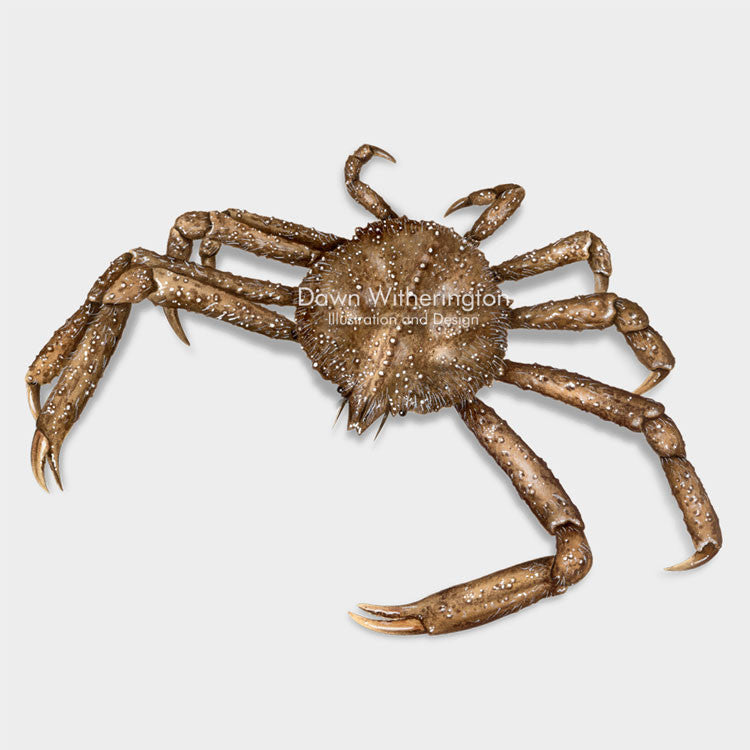 This beautiful illustration of a longnose spider crab, Libinia dubia, is biologically accurate in detail.