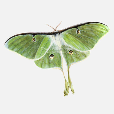 This wonderful illustration of a luna moth, Actias luna, is biologically accurate in detail.
