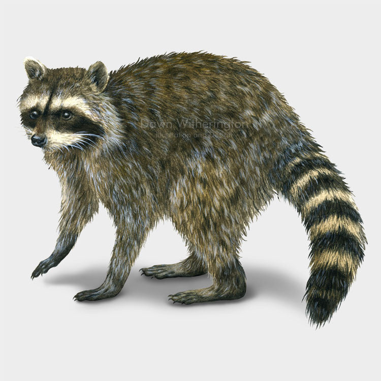 This illustration of a northern raccoon, Procyon lotor, is beautifully detailed.
