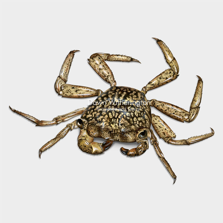 This beautiful illustration of a mangrove crab, Aratus pisonii, is biologically accurate in detail.