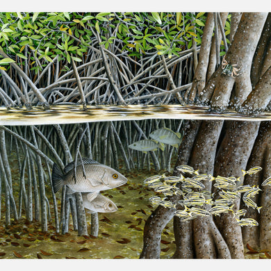 This beautiful, highly detailed illustration is of various Florida fish species amongst red mangrove, Rhizophora mangles, prop roots.