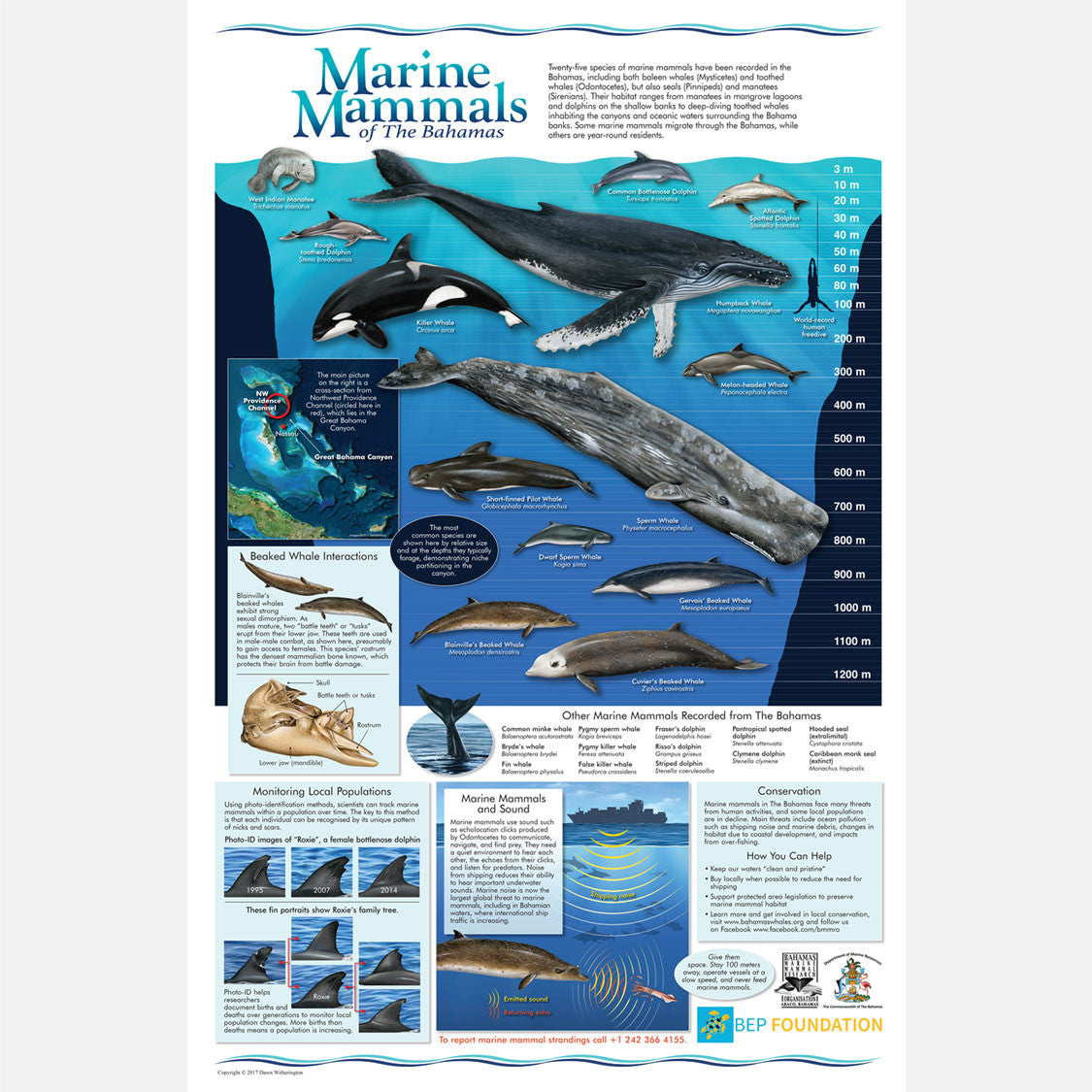 This is a beautiful informational and identification poster about marine mammals of The Bahamas.