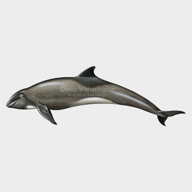 This drawing of a melon-headed whale, Peponocephala electra, is biologically accurate in detail.