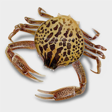 This beautiful illustration of a mottled purse crab, Persephona mediterranea, is biologically accurate in detail.