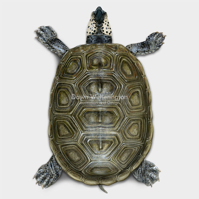 This dorsal llustration of an adult Florida east coast diamondback terrapin adult, Malaclemys terrapin tequesta, is biologically accurate in detail.