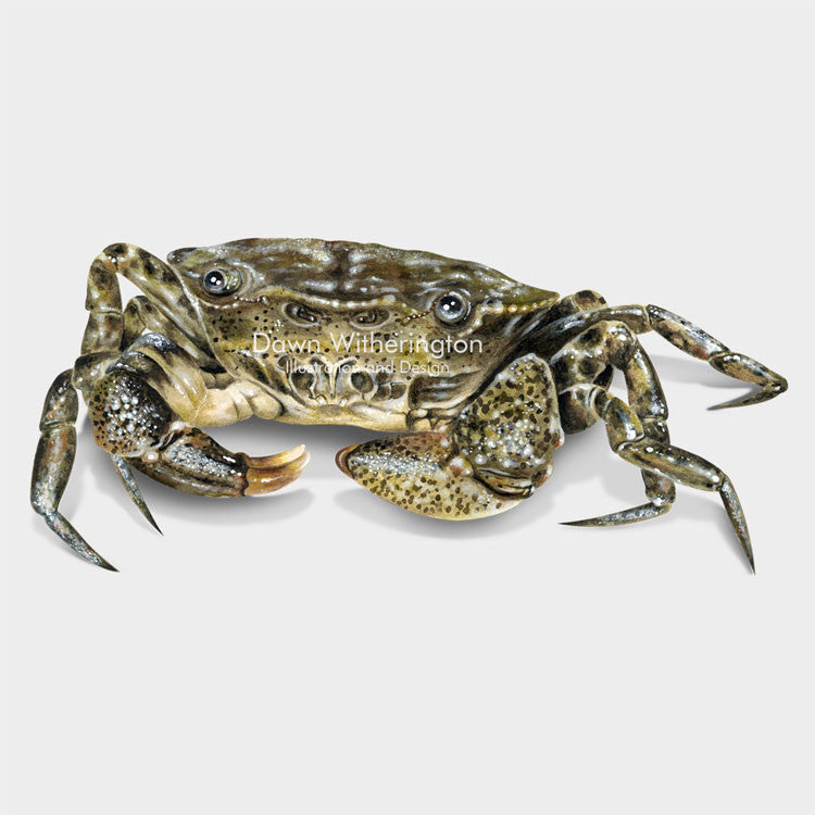 This beautiful illustration of a white-tipped mud crab (Rhithropanopeus harrisii, is biologically accurate in detail.