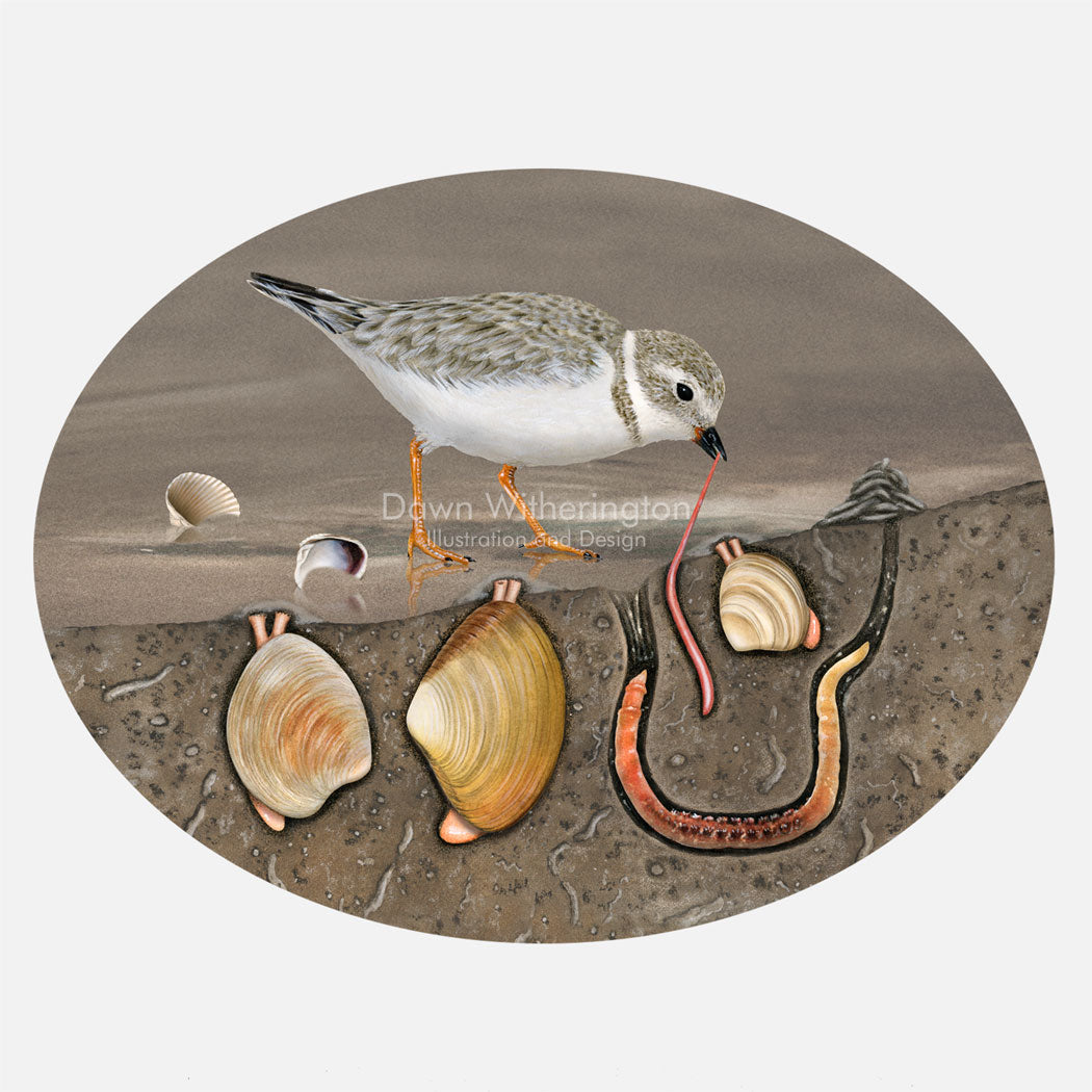 This illustration is a cut-a-way of a piping plover, Charadrius melodus, foraging in mudflats. The art shows clams and worms below the surface.