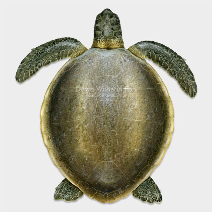 This beautiful dorsal illustration of an adult flatback sea turtle, Natator depressus, is biologically accurate in detail.