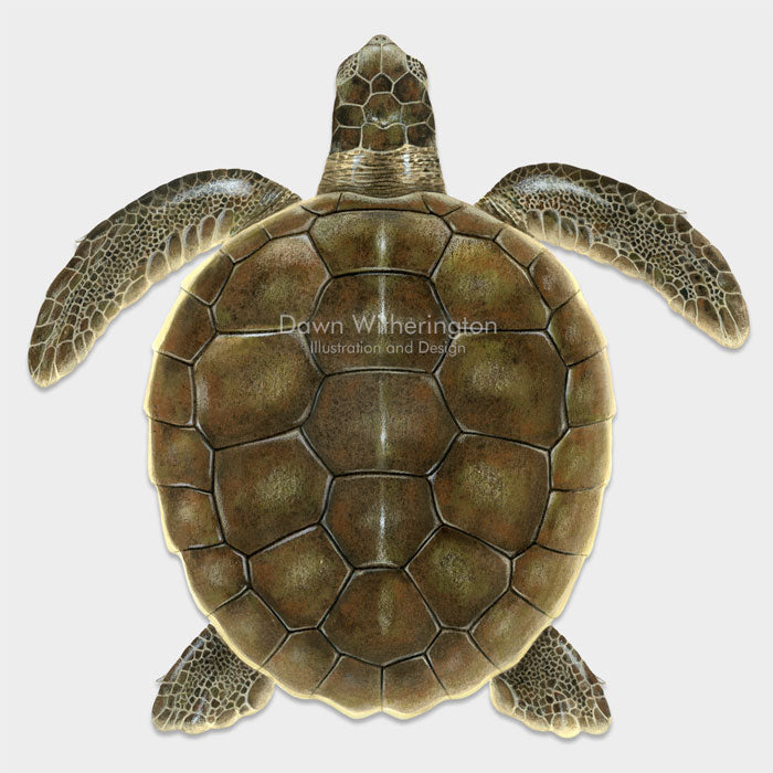 This beautiful illustration of a juvenile flatback sea turtle, Natator depressus, is biologically accurate in detail.