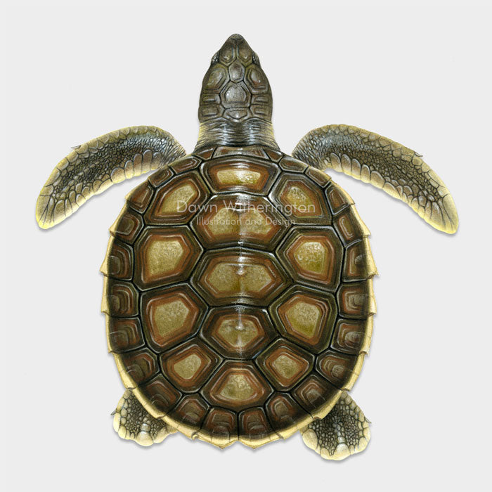 This beautiful dorsal illustration of a post-hatchling flatback sea turtle, Natator depressus, is biologically accurate in detail.