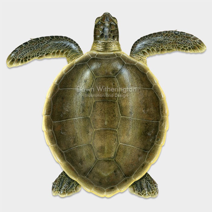 This beautiful dorsal illustration of a subadult flatback sea turtle, Natator depressus, is biologically accurate in detail.
