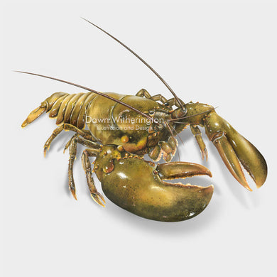 This beautiful illustration of an American lobster, Homarus americanus, is biologically accurate in detail.