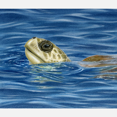 This beautiful, accurately detailed illustration is of a basking olive ridley sea turtle, lepidochelys oliveacea.